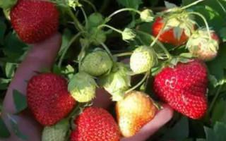 Клубника Подарок учителю — описание сорта и способы выращивания