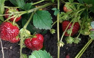 Клубника Любаша — особенности и правила выращивания сорта