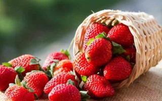 Клубника Треска – раннеспелая разновидность, относящаяся к новым сортам, способных плодоносить на протяжении всего года