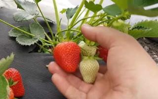 Клубника Клери — правила выращивания, достоинства и недостатки сорта
