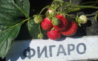 Клубника Фигаро – новый конкурент на ягодном олимпе