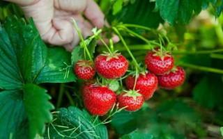 Клубника сорта Гера для любителей кисло-сладких ягод