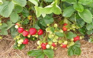 Земляника Ксюша — высокоурожайный альпийский сорта, славящийся высокой продуктивностью и непрерывным появлением ягод