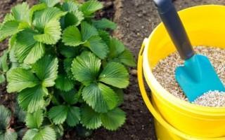 Чем подкормить ремонтантную клубнику — весенняя и осенняя обработка