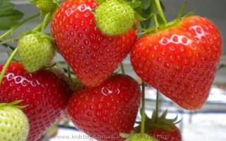 Клубника Искья — особенности и правила выращивания сорта
