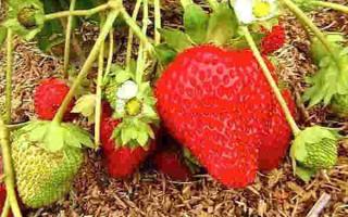 Клубника Антея — урожайность до 3 килограмм с одного куста!