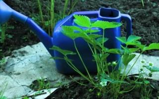 Обработка клубники водным раствором йода