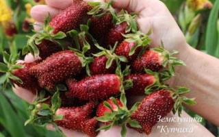 Описание клубники сорта Купчиха – особенности и правила выращивания