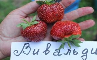 Сорт клубники Вивальди — секреты хорошего урожая