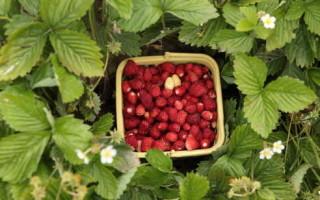 Земляника Лесная сказка — описание и правила выращивания из семян