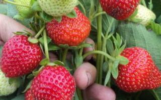 Клубника сорта Осирис — описание и правила выращивания