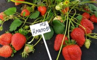 Клубника Крапо 10: описание, важные правила выращивания!