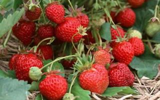 Клубника Красная шапочка — очень вкусный сорт для любого сада