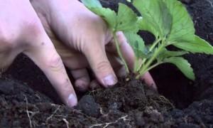 Какую землю любит клубника — готовим грунт своими руками