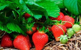Сорт клубники Челси — высокоурожайная новинка этого года!