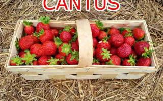 Клубника Кантус — описание, правила посадки и способы ухода