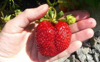 Клубника Лоран f1: описание и важные правила выращивания сорта
