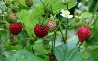 Земляника Сладкая Полянка: характеристика и важные правила выращивания сорта