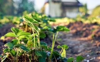 Способы обработки клубники летом после плодоношения и сбора урожая
