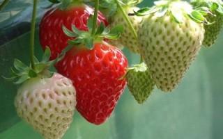 Ранняя клубника Незнакомка — высокоурожайность и зимостойкость