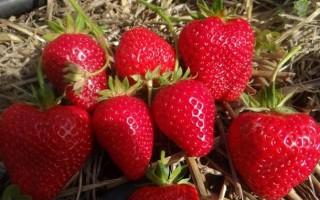 Клубника Ирма — Итальянская ягодка на вашем участке
