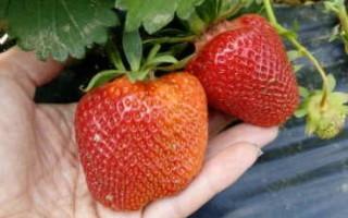 Клубника Гигант Джорнея — крупноплодный сорт для любого сада
