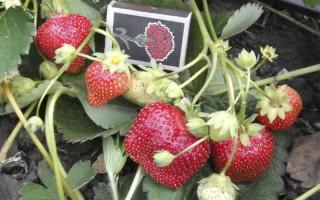 Клубника Бурбон — новейшая культура постоянного плодоношения