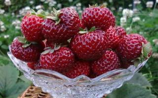 Клубника Мице Шиндлер: описание, особенности выращивания и ухода