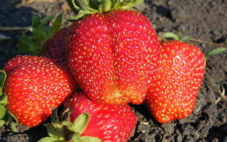 Клубника Примелла — характеристика и особенности выращивания