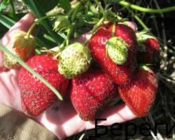 Сорт клубники Берегиня — продуктивность и морозостойкость