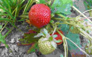 Клубника Тенира: описание, особенности посадки и удобрения