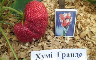 Сорт клубники Хуми Гранде — описание и способы ухода