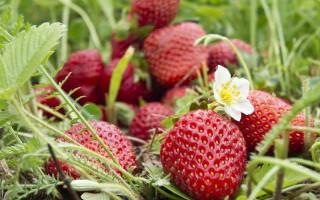 Клубника Альтесс — характеристика, правила выращивания