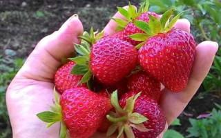 Клубника Огородница f1 – уникальный сорт с высокой отдачей ягод и длительным плодоношением