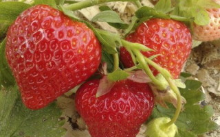 Клубника Фейт — посадка и важные правила выращивание сорта