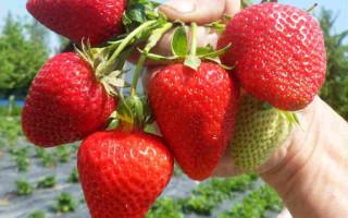Клубника Алина — прекрасный сорт для промышленного выращивания