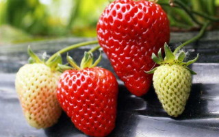 Клубника Лидия Норвежская — особенности и правила выращивания