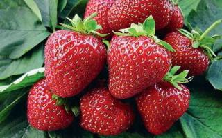 Клубника Глория — особенности и правила выращивания