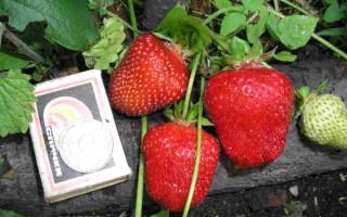 Клубника Референта — характеристика и правила выращивания