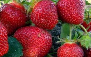 Клубника Настенька f1 – ремонтантный сорт культуры, славящийся высокой продуктивностью и невероятно вкусными и сочными плодами