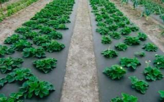 Как посадить клубнику под черный спанбонд