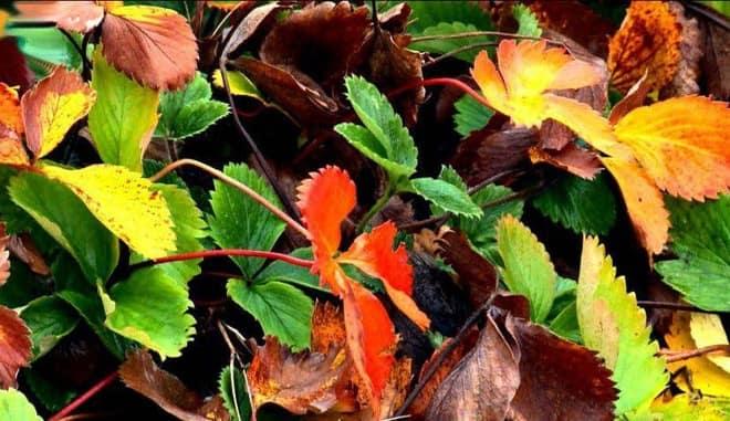 Осенняя клубника