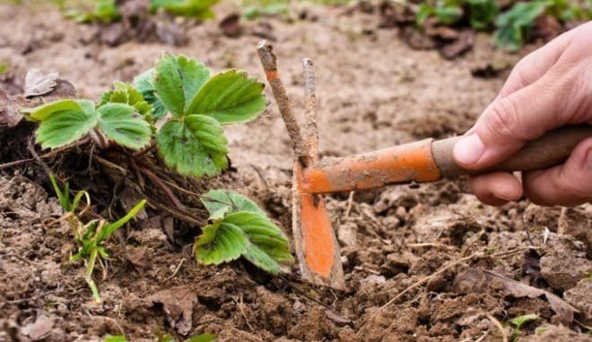 Почва под клубнику
