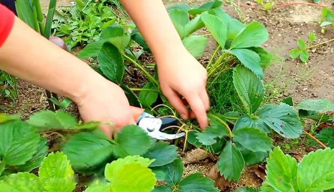 Обрезки листьев клубники в августе