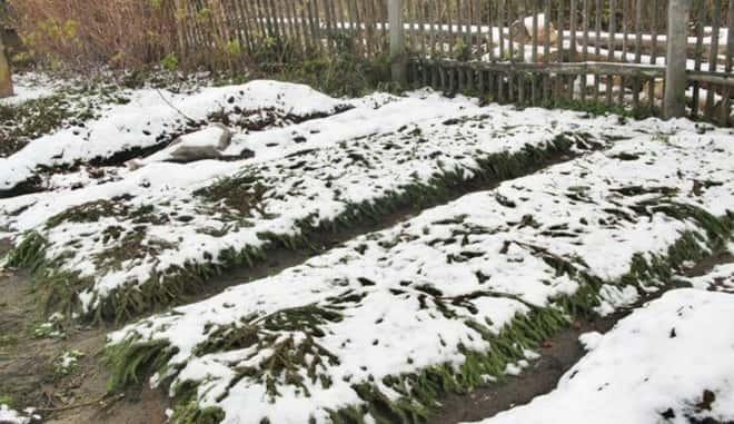 Подготовка клубники к зиме