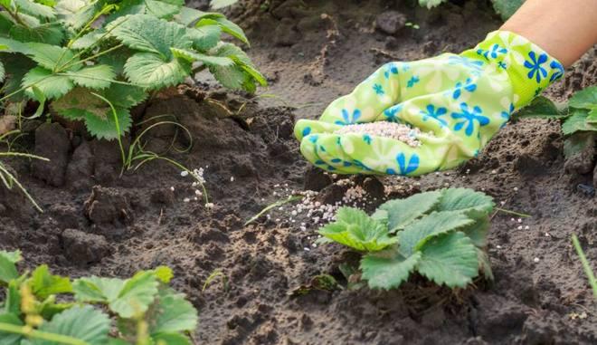 Удобрение для клубники осенью