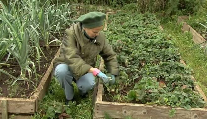 Осенние удобрение клубники