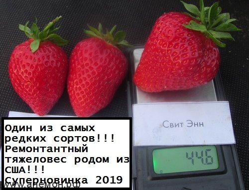 Клубника Свит Энн