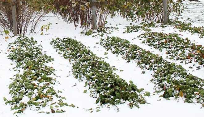 Зимовка клубники