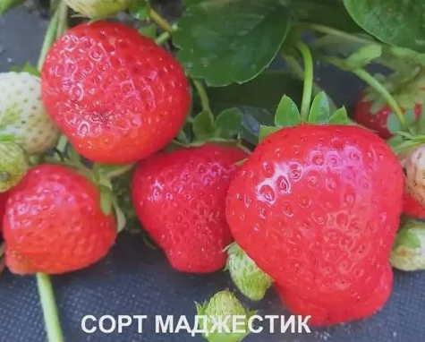 Ягоды клубники Маджестик